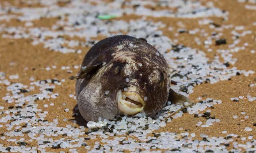 Mrtvá nafoukaná ryba ležící na pláži v plastových peletách